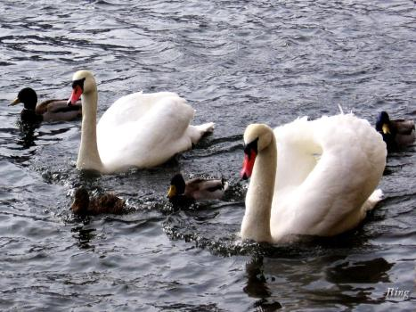 swan_4